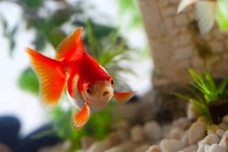 goldfish attention span